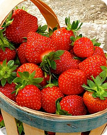 Fragola unifera agathe produzione e vendita fragole for Fragole piante vendita