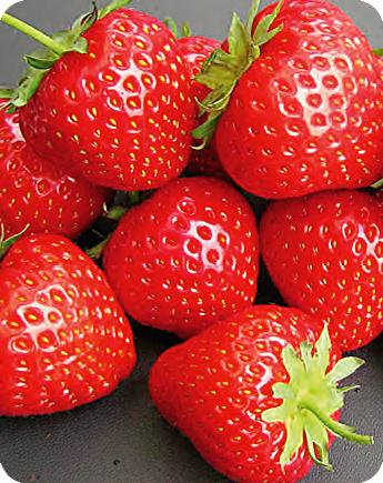 Fragola unifera elegance produzione e vendita fragole for Fragole piante vendita