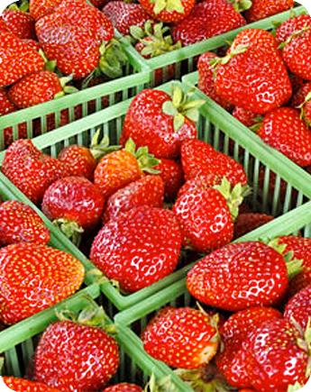 Fragola unifera festival produzione e vendita fragole for Fragole piante vendita