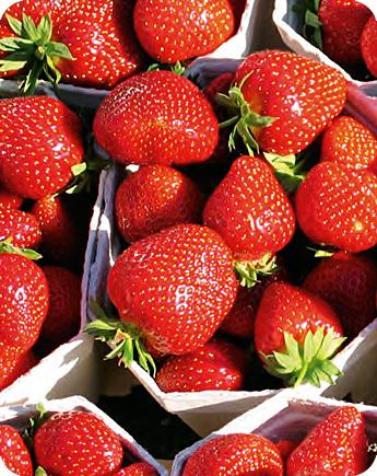 Fragola unifera malwina produzione e vendita fragole for Fragole piante vendita