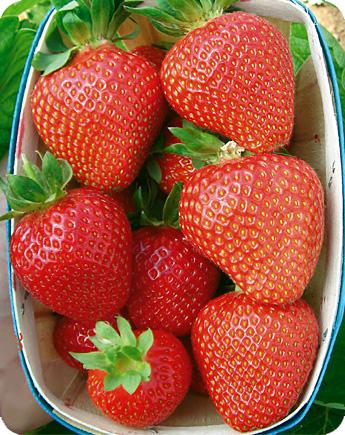 Fragola unifera rubygem produzione e vendita fragole for Fragole piante vendita