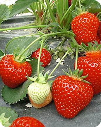 Fragola unifera sonata produzione e vendita fragole for Fragole piante vendita